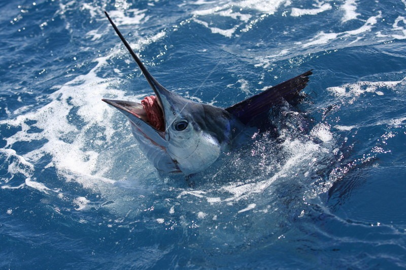 sailfish5