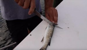 How to Make Trolling Strips from Mullet