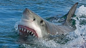 Great Whites and Tiger Sharks and Bull Sharks! Oh My!